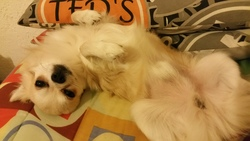 Ilyan, chien Chihuahua