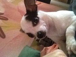 Ilyana, chien Chihuahua