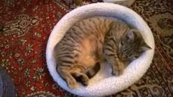 Ilyana, chat Européen