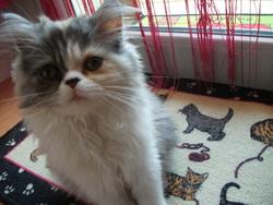 Ilyana, chat Persan