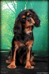 Ilyanor Du Mont Berrue, chien Cavalier King Charles Spaniel