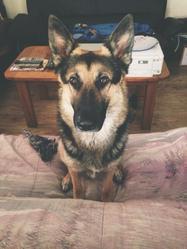 Ilyos, chien Berger allemand