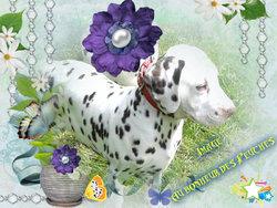 Image, chien Dalmatien
