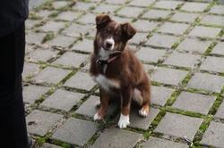 Image D'Ar Menez , chien Berger australien