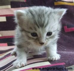Imagine De La Forêt Verte, chat Angora turc