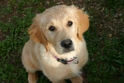 Imagine, chien Golden Retriever
