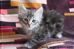 Iman De La Forêt Verte, chat Angora turc