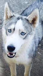 Imao, chien Husky sibérien