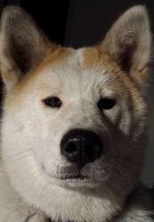 Imba, chien Akita Inu