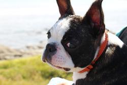 Imèle, chien Terrier de Boston
