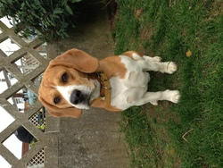 Iméo, chien Beagle