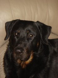 Imhotep, chien Beauceron