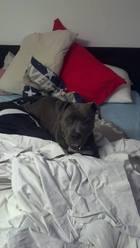 Halya, chien American Staffordshire Terrier