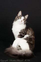 Imotep De L'Ile De Tiaré, chat Maine Coon