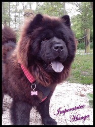 Impératrice Hunga, chien Chow-Chow