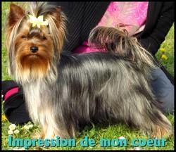 Impression De Mon Coeur, chien Yorkshire Terrier