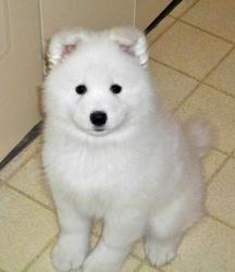 Imprévue, chien Samoyède