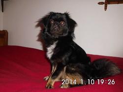 In'Su, chien Épagneul tibétain