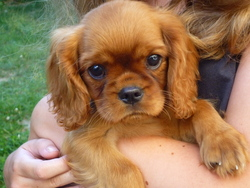 Ina, chien Cavalier King Charles Spaniel