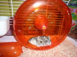 Ina, rongeur Hamster