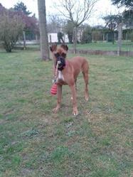Ina, chien Boxer