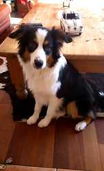 Ina, chien Berger australien