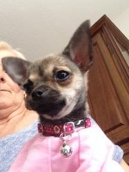 Ina, chien Chihuahua