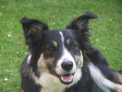 Ina, chien Border Collie