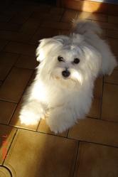 Ina, chien Bichon maltais