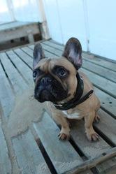 Ina, chien Bouledogue français
