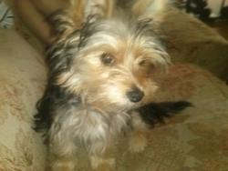 Ina, chien Yorkshire Terrier