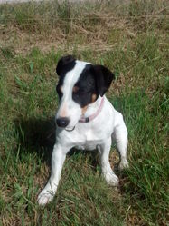 Ina, chien Jack Russell Terrier