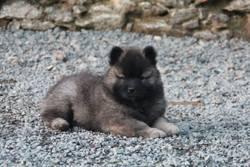 Inaé Du Royaume D'Ébène, chien Eurasier