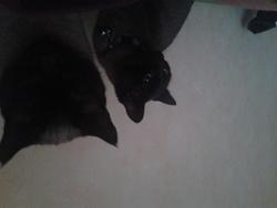 Inanna, chat Siamois