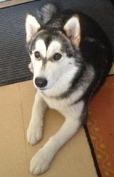 Inara, chien Malamute de l'Alaska