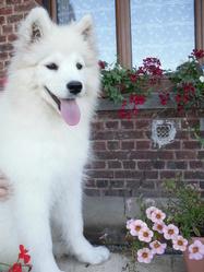 Inata, chien Samoyède