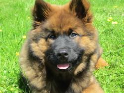 Inaya, chien Eurasier