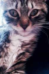 Inaya, chat Maine Coon