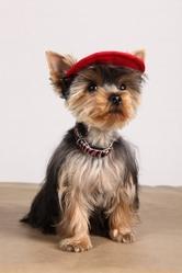 Inaya, chien Yorkshire Terrier