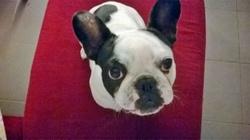 Inaya, chien Bouledogue français
