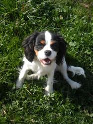 Inaya, chien Cavalier King Charles Spaniel