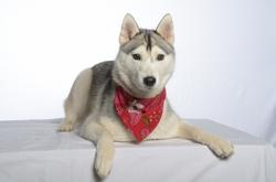 Inaya, chien Husky sibérien