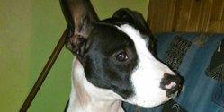 Inaya, chien American Staffordshire Terrier