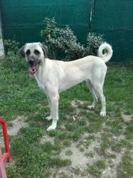 Inaya,, chien Berger d'Anatolie