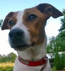 Inaya, chien Jack Russell Terrier