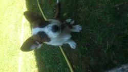 Inaya, chien Welsh Corgi