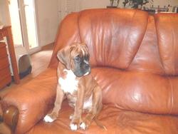 Inboy, chien Boxer