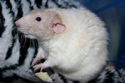 Inc Babar, rongeur Rat