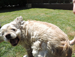 Inca, chien Cocker américain