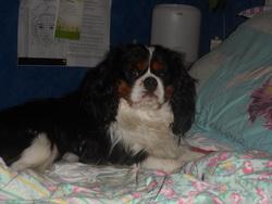 Inca, chien Cavalier King Charles Spaniel
